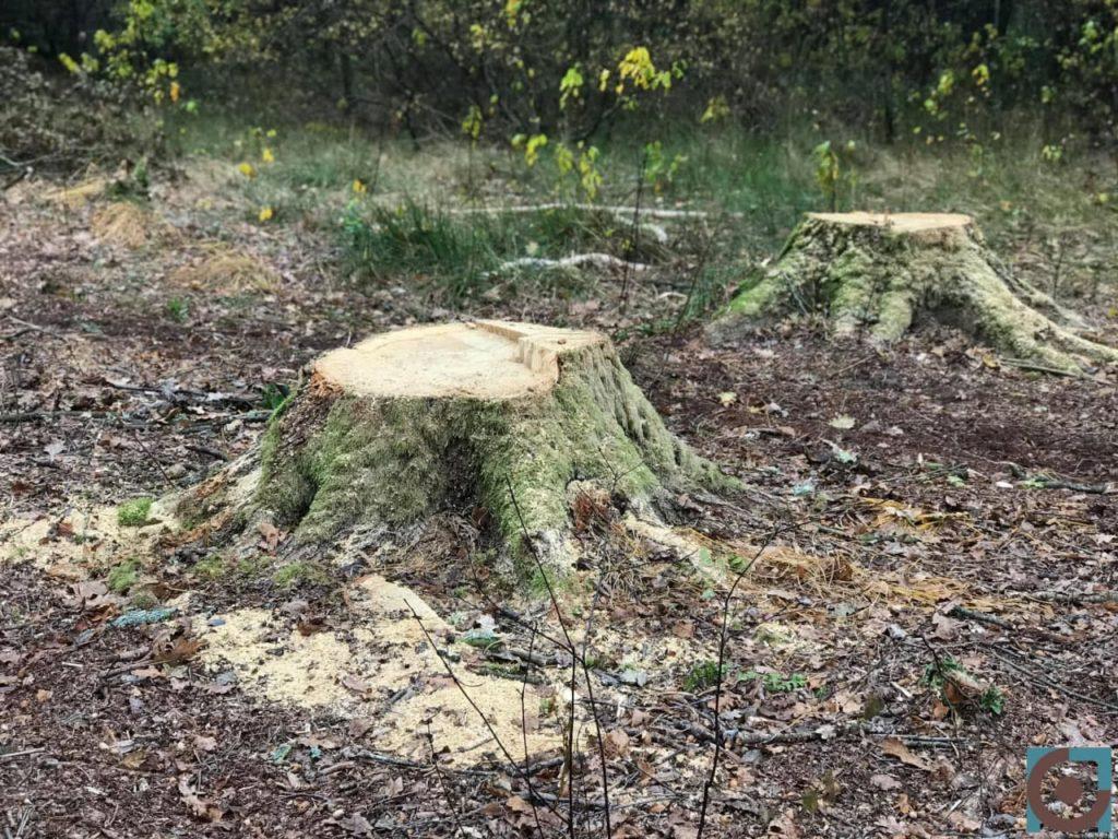 цуманська пуща зрізаний ліс пеньок