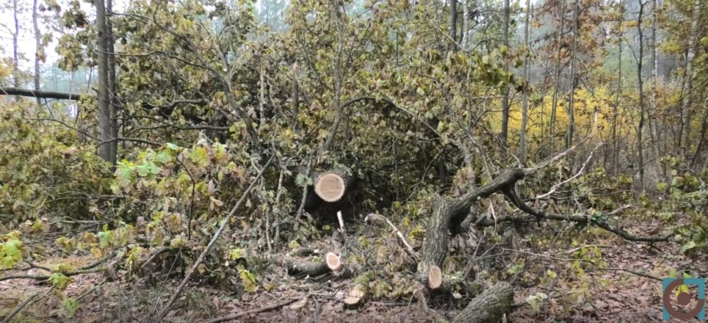 цуманська пуща зрізаний ліс