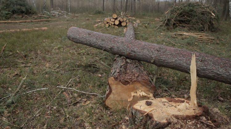 ліс сосна дерево