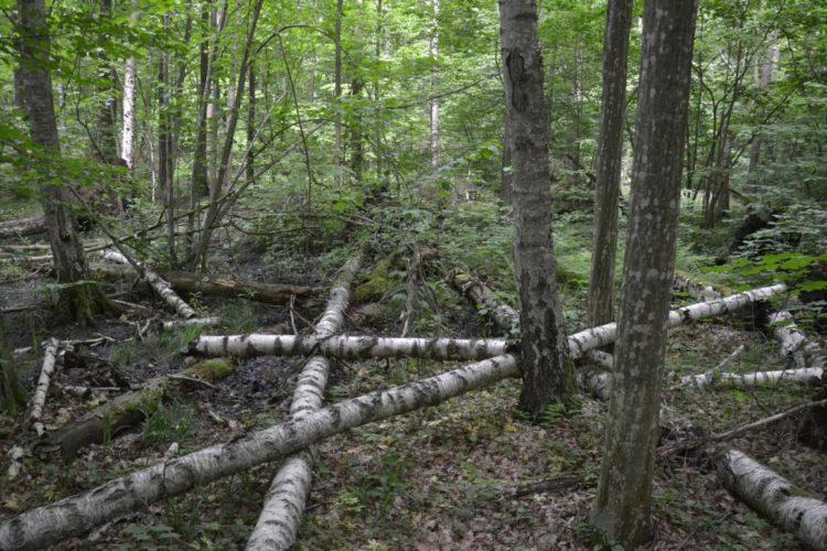 волинський ліс цуманська пуща